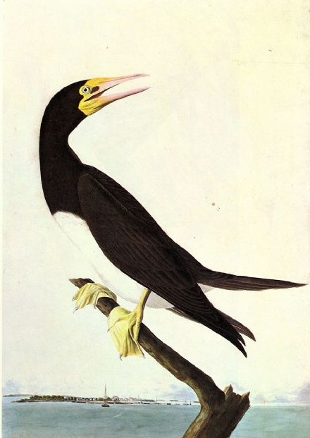 Audubon, John James: Brown Booby. Ornithology Fine Art Print/Poster. Sizes: A4/A3/A2/A1 (001016)
